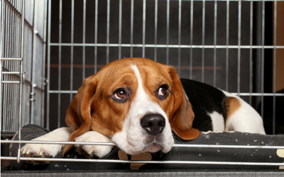 image for Canine Influenza Confirmed in Canada
